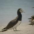 オーストラリアカツオドリ2