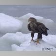 流氷上のオジロワシ