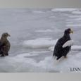 流氷上のオジロワシとオオワシ