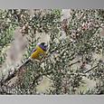 Peruvian Sierra-Finch(ペルーヤマシトド)