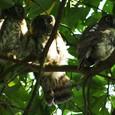 アオバズク雛の巣立ち