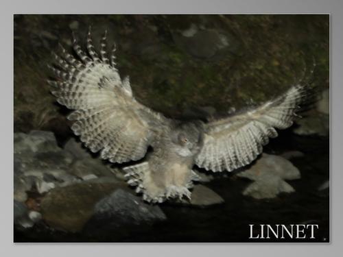 シマフクロウ飛来