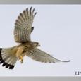 チョウゲンボウ飛翔